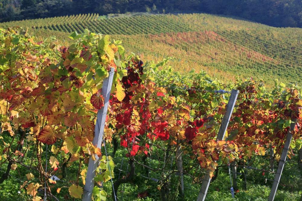 Herbstwanderungen in Weinbergen sind ein Genuss fürs Auge.
