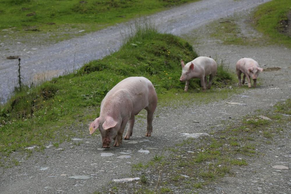 Schweine im Gänsemarsch