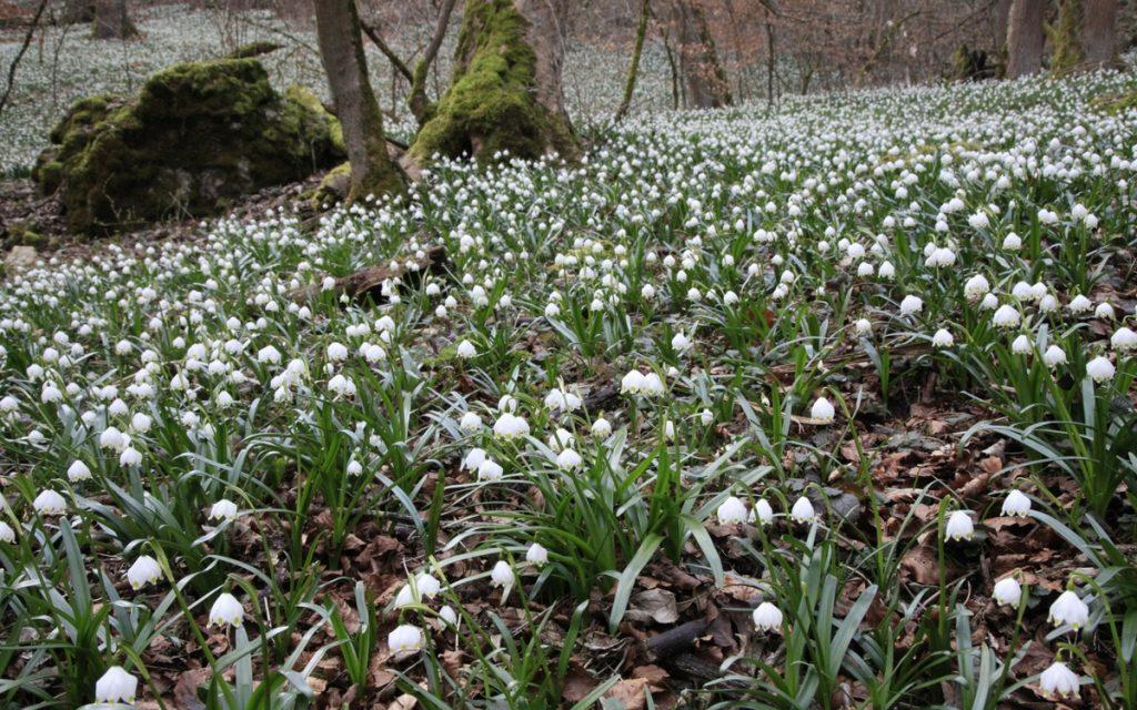 Ein seltener Anblick: der Waldboden ist übersäht mit Märzenbechern.