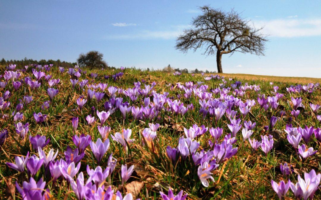 Die Krokusblüte in Zavelstein zieht schon seit Jahrhunderten Besucher an.