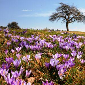 Ausflugstipp für den Monat März: Krokusblüte in Zavelstein