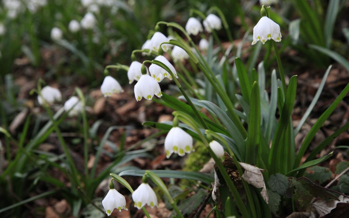 Märzenbecherblüte bei Bad Überkingen