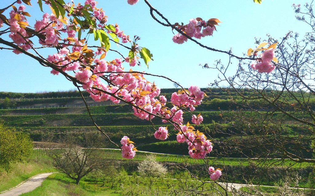 Diese Radtour duch den Kaiserstuhl bietet sich vor allem im Frühjahr an, wenn es überall grünt und blüht.
