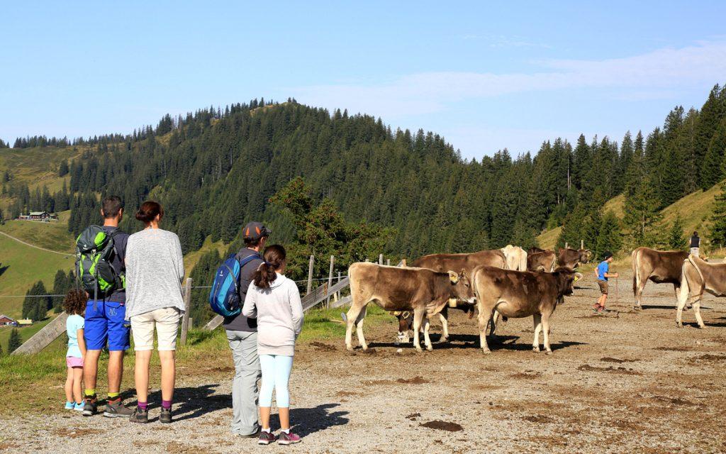 Manchmal haben Kühe auch in Europa die Vorfahrt.