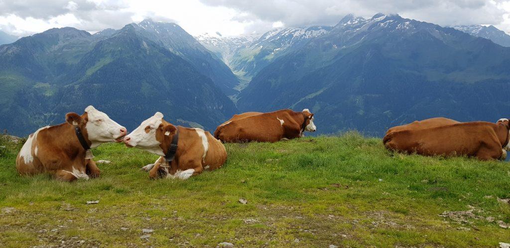 Kitzbüheler Grasberge: Kühe über dem Saalachtal im Pinzgau