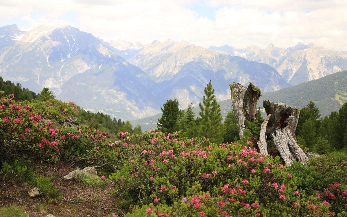 Alpenrosen in Serfaus-Fiss-Ladis